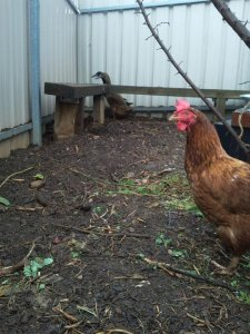 Photobombing chook.