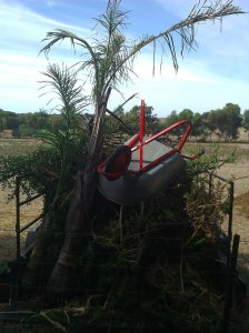 How all palms in S.A. should end up - as bonfire material.