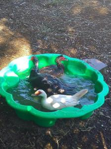 Ducks in a wading pool. Nothing more needs to be said.