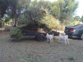 Curious goats...