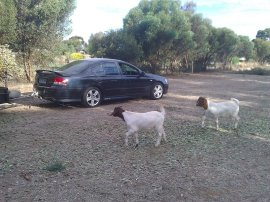 The goats checking out the action.