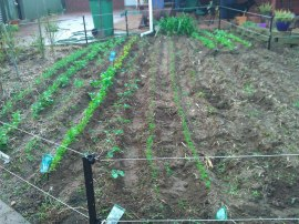 The larger backyard veggie patch is coming on nicely!