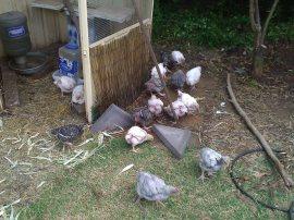 Baby meat birds!