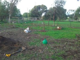 Planting trees, free-ranged chooks, and Bruce.