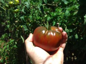 Black Russian tomato - our favourite!