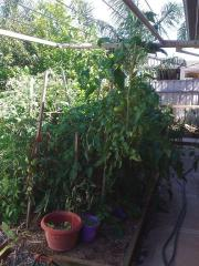 I ended up having to tie the tomatoes to the clothes line.