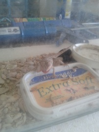 The dragon eating meal worms. He was fat, healthy, and happy.