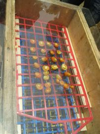 Home-grown tomatoes in the dehydrator.