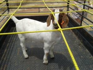 Howard the goat!