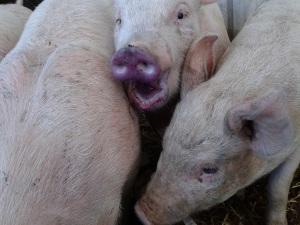 Spoiler alert, we get piglets this month...