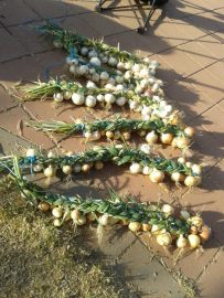Our onion harvest. Not quite the year's worth I wanted.