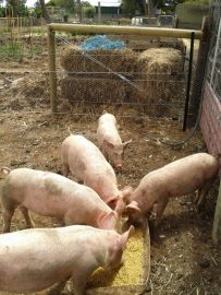 You can see the electric fence, which is especially important between hungry pigs and The Patch.