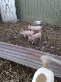 Porky cuteness.