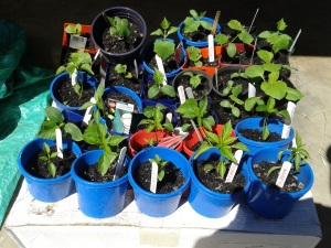 Seedlings coming along.