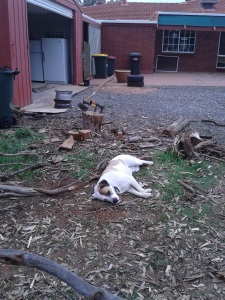 """You can see the wood littered around him. I was chopping inches from him, but he refused to move. Linhda says he's just being a """"site dog""""."""