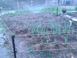 Garlic in the foreground, then onions, beetroot, carrots, and beans.