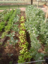 Carrots, sprouting brocolli, lettuce, broad beans.