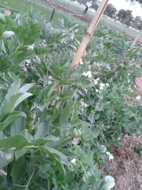 The broad beans went nuts!