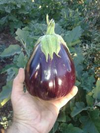 Our first eggplant!