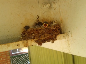 Baby Welcome Swallows.