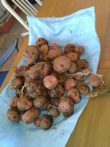 Our first small potato harvest. There's at least 10 times this much left to dig up.