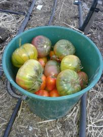 "Our last tomato harvest from ""The Patch"". Hopefully the late harvest crop work out."