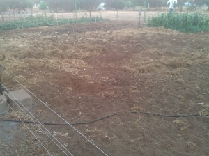 This is what a couple of weeks of pig attention does to spent veggie patches.