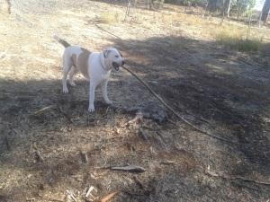 Bruce found himself a stick!