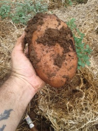We managed to grow some pretty big spuds.