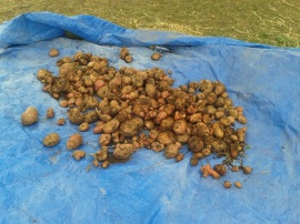 This was one of our spud harvests for the month.