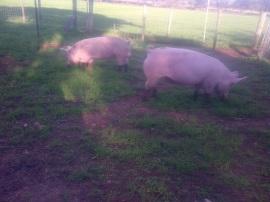 Smoke Pig pregnant!