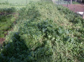 A before shot of the green manure.