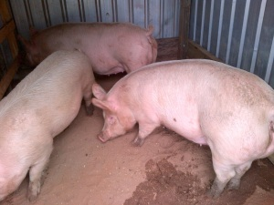 The Babies checking out the new farrowing shed.