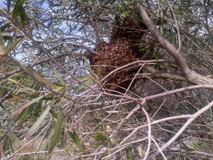 The new swarm settled in. They flew away only a couple of hours after I took the  bloody picture though!