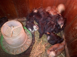 Our first batch of new chooks. Half will be breeders, and the rest meat or egg birds.
