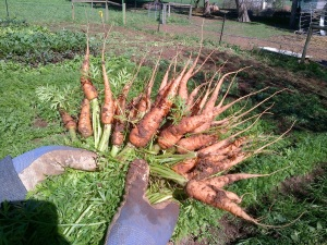Our first carrots for the season!