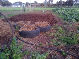 Spuds, both in the ground and in tyres.