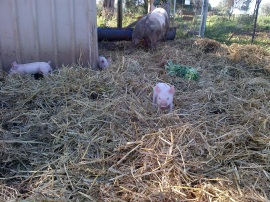 The piglets like running around in the straw.