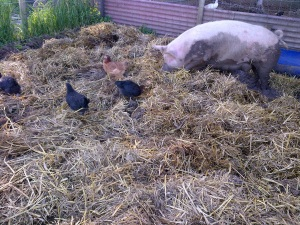 Chooks free-ranged into the pig runs. They are either very brave or very stupid, and by that, I mean they're very stupid.