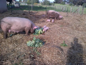 Pigs eating their veggies!