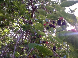 I'd be surprised if we scored a tenth of what was on this tree. So. Many. Mulberries!