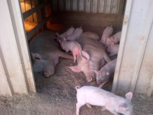 Nothing quite says sisterhood like nursing 11 piglets between 2 of you at the same time.