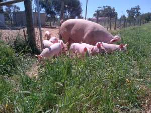 The piglets first foray into the back paddock.
