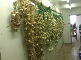 This is about half our garlic and less than half the onions hanging in our preserve area in the big shed.