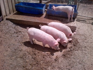 The piglets are getting huge!