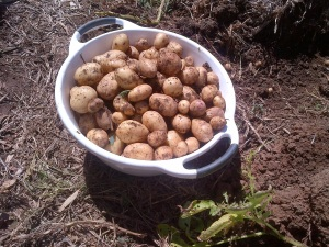 We're getting better at growing potatoes, but I think we still have a long way to go.