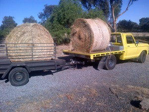 Effy carrying two half-tonne rolls of hay for us. Like a boss!