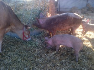 The piglets were growing.