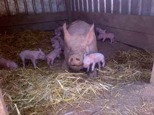 Honey Pig absolutely shagged. She was exhausted and high on endorphins. This is the time that gilts lay on piglets.