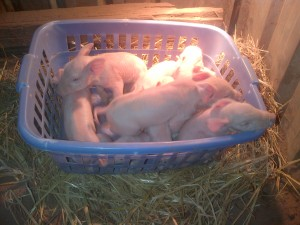 A basket of piglets.